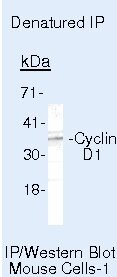 Cyclin D1 Antibody (AHF0082) in Immunoprecipitation