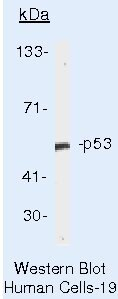 p53 Antibody (AHO0112) in Western Blot