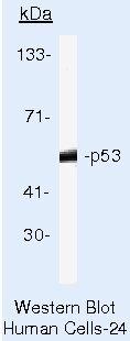 p53 Antibody (AHO0152) in Western Blot