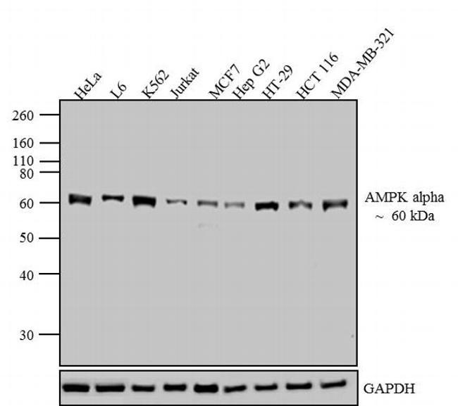 AMPK alpha-1 Antibody (AHO1332)