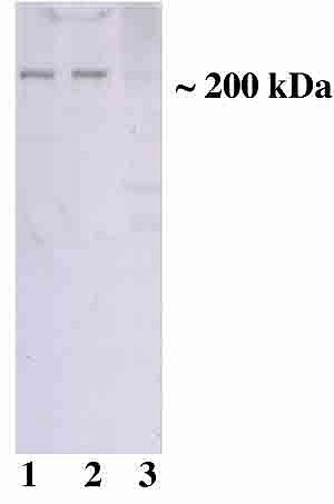 TSC2 Antibody (AHO1422)