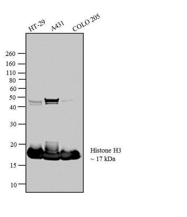 Histone H3 Antibody (AHO1432) in Western Blot