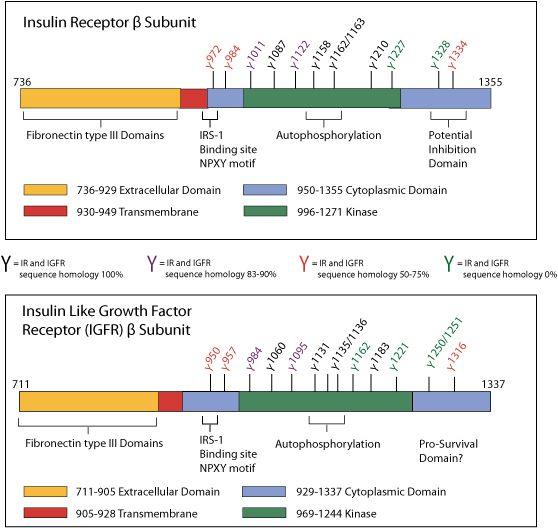 INSR alpha Antibody (AHR0221)