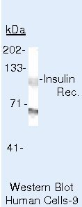 INSR beta Antibody (AHR0271) in Western Blot