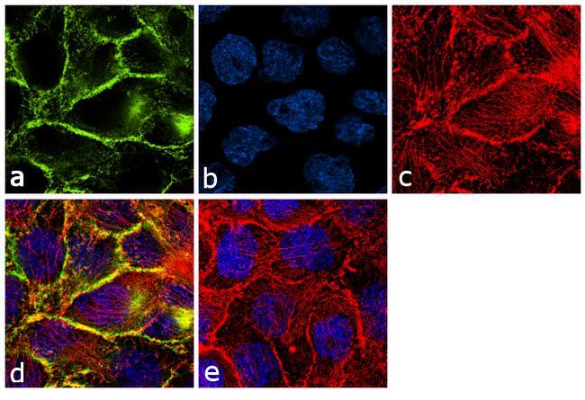 EGFR Antibody (AHR5062) in Immunofluorescence