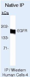 EGFR Antibody (AHR5062) in Immunoprecipitation