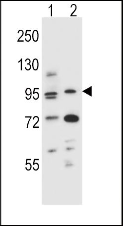 AHR Antibody (PA5-25447) in Western Blot