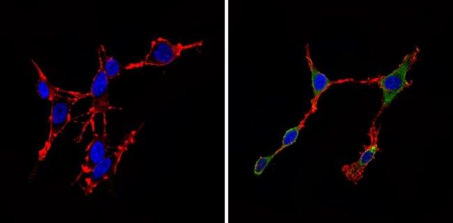 CDK6 Antibody (AHZ0232)