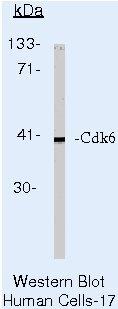CDK6 Antibody (AHZ0232) in Western Blot