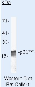 p21 Antibody (AHZ0422) in Western Blot