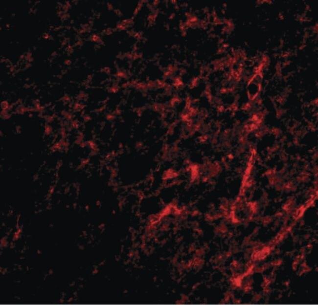 AIFM3 Antibody (PA5-20502)