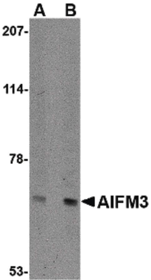 AIFM3 Antibody (PA5-20502) in Western Blot