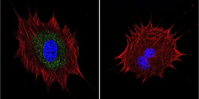 AKAP450 Antibody (MA1-803) in Immunofluorescence