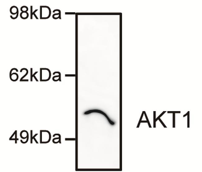 AKT1 Antibody (AHO1112) in Western Blot