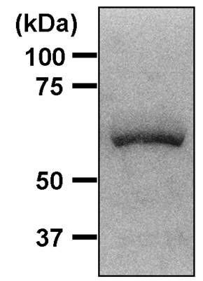 AMPK alpha-1 Antibody (MA5-14922) in Western Blot