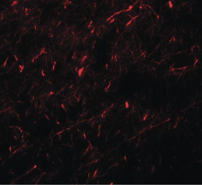 MINT1 Antibody (PA5-34418)
