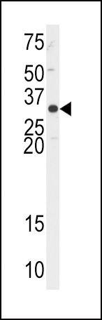 APE1 Antibody (PA5-12471) in Western Blot