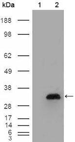 Apolipoprotein A1 Antibody (MA5-15391) in Western Blot