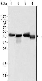Apolipoprotein A4 Antibody (MA5-15483)