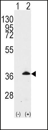 APOE Antibody (PA5-14539) in Western Blot