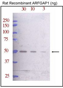 ARFGAP1 Antibody (PA5-12109) in Western Blot