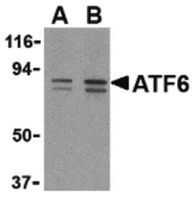 ATF6 Antibody (PA5-20215) in Western Blot