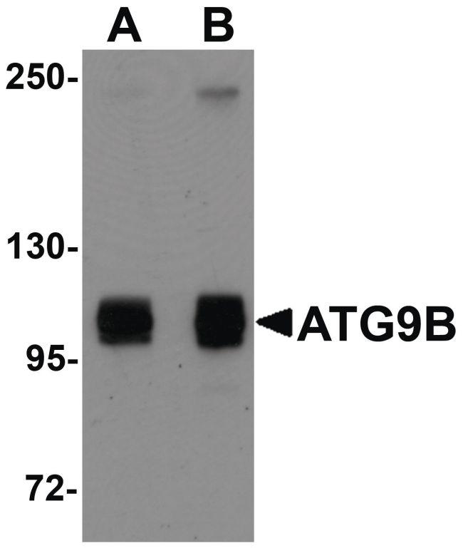 ATG9B Antibody (PA5-20998) in Western Blot