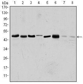 Aurora A Antibody (MA5-15803) in Western Blot