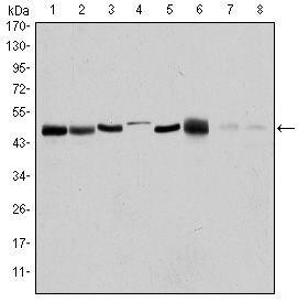 Aurora A Antibody (MA5-15804) in Western Blot