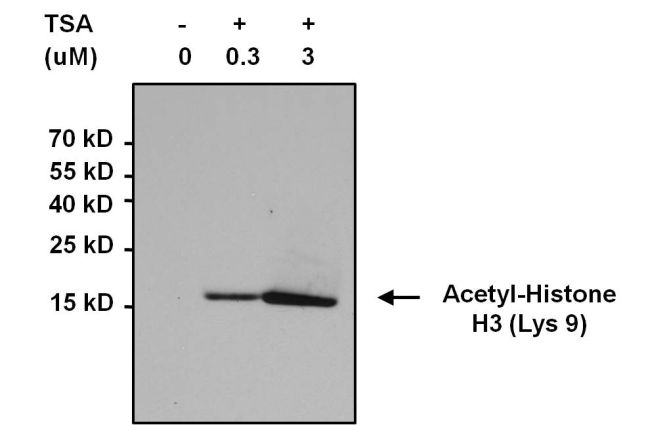 Acetyl Lysine Antibody (MA1-2021) in Immunoprecipitation