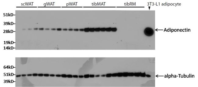 Adiponectin Antibody (MA1-054) in Western Blot