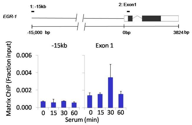 AKT2 Antibody (MA1-034) in ChIP assay
