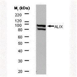 Alix Antibody (MA1-83977)