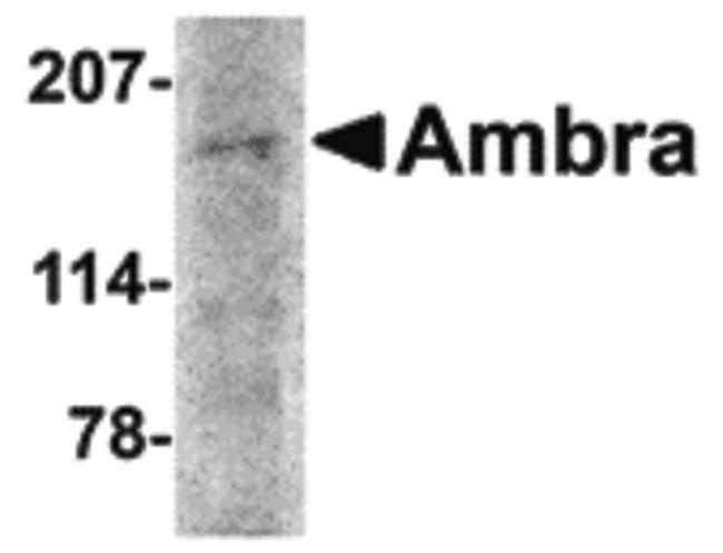 AMBRA1 Antibody (PA5-20512) in Western Blot