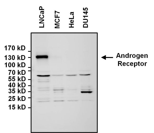 Androgen Receptor Antibody (PA5-16750) in Western Blot