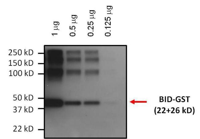 BID Antibody (MA1-13043) in Western Blot