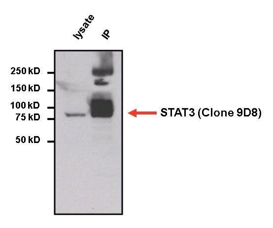 STAT3 Antibody (MA1-13042) in Immunoprecipitation