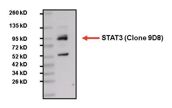 STAT3 Antibody (MA1-13042) in Western Blot
