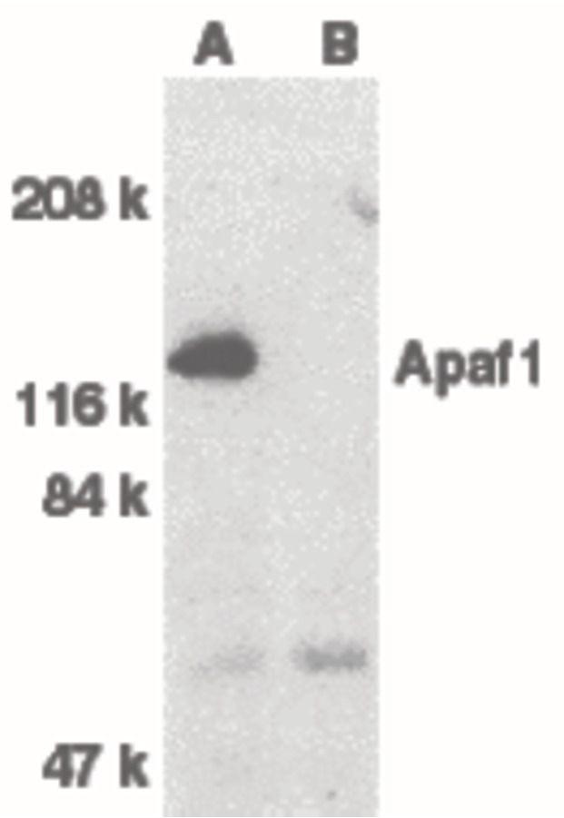 APAF1 Antibody (PA5-19894) in Western Blot