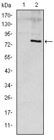APOE Antibody (MA5-15852) in Western Blot