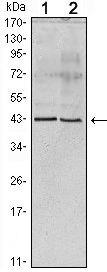 Apolipoprotein A5 Antibody (MA5-14759)