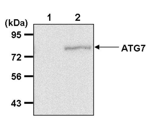 ATG7 Antibody (PA5-17216) in Immunoprecipitation