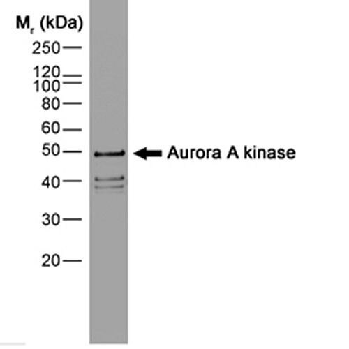 Aurora A Antibody (MA1-80399)