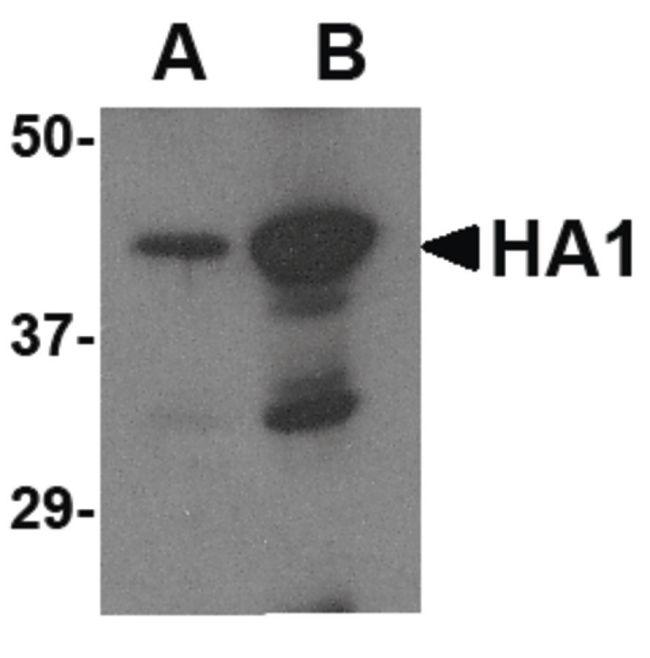 Avian Influenza HA Type 2 Antibody (PA5-20293)