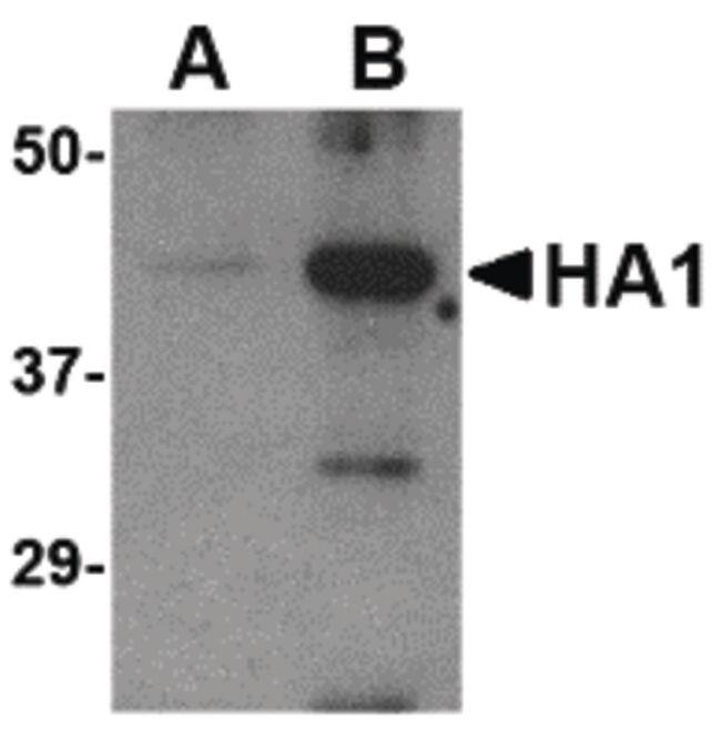 Avian Influenza HA Antibody (PA5-20099) in Western Blot