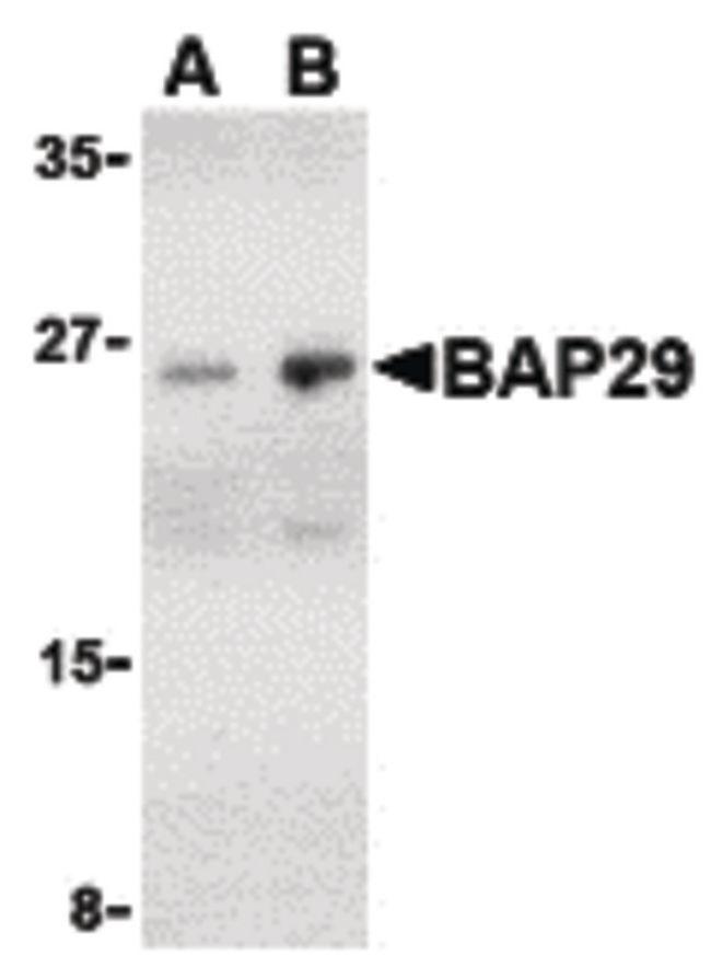 BAP29 Antibody (PA5-20196)
