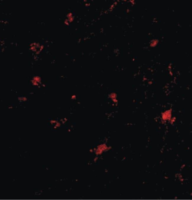 BAP3 Antibody (PA5-20498)