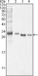 Bcl-10 Antibody (MA5-14756) in Western Blot