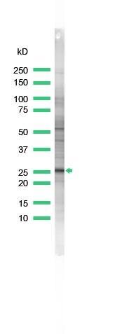 Bcl-X Antibody (PA5-32274) in Western Blot