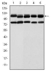BMPR2 Antibody (MA5-15826) in Western Blot